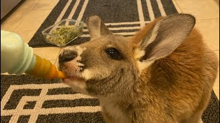 Watch this BEFORE Getting a Kangaroo!