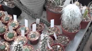 Кактусы  Коллекция Ботанического сада ННГУ