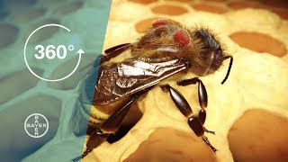 Verroa Mites: Why Bees are Dying I 360° Video