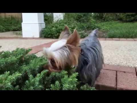 Yorkshire terrier Teacup Josie at 14 months