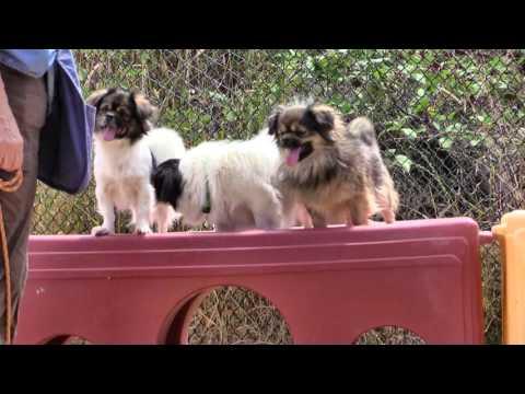 TIBETAN SPANIELS - All Adopted