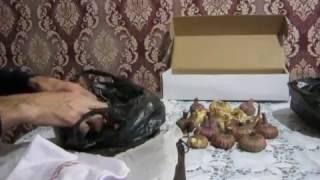 видео Как хранить гладиолусы зимой в домашних условиях