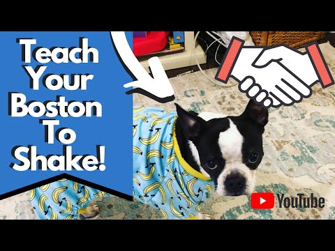 how-to-teach-your-boston-terrier-to-shake