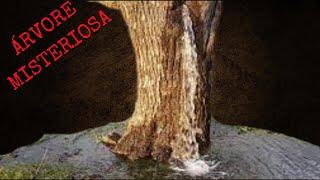 Mistério árvore verte água em Dinosa  no Montenegro!!!