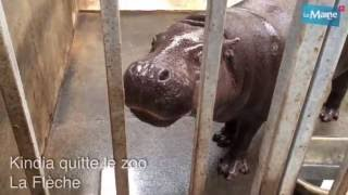 Lemainelibre.fr : départ d'un hippopotame pygmée du zoo