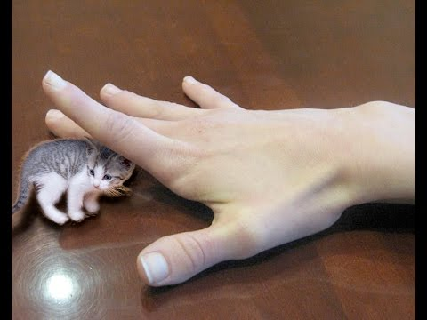 Smallest Cat In The World Guinness 2017 smallest cat in the world! nano kitties - so cute! - youtube