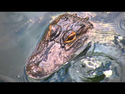 Alligators all Around!! Palm Coast Florida.