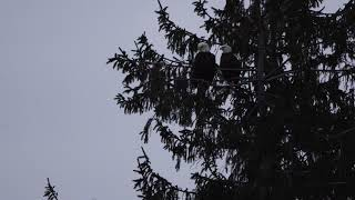 Bald Eagles Of Centerport - Favorite Pine Tree