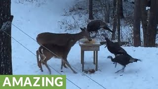 Wild deer and turkeys come together for snack time