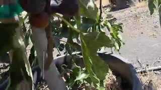 Violette De Bordeaux Fig Or The Negronne Fig