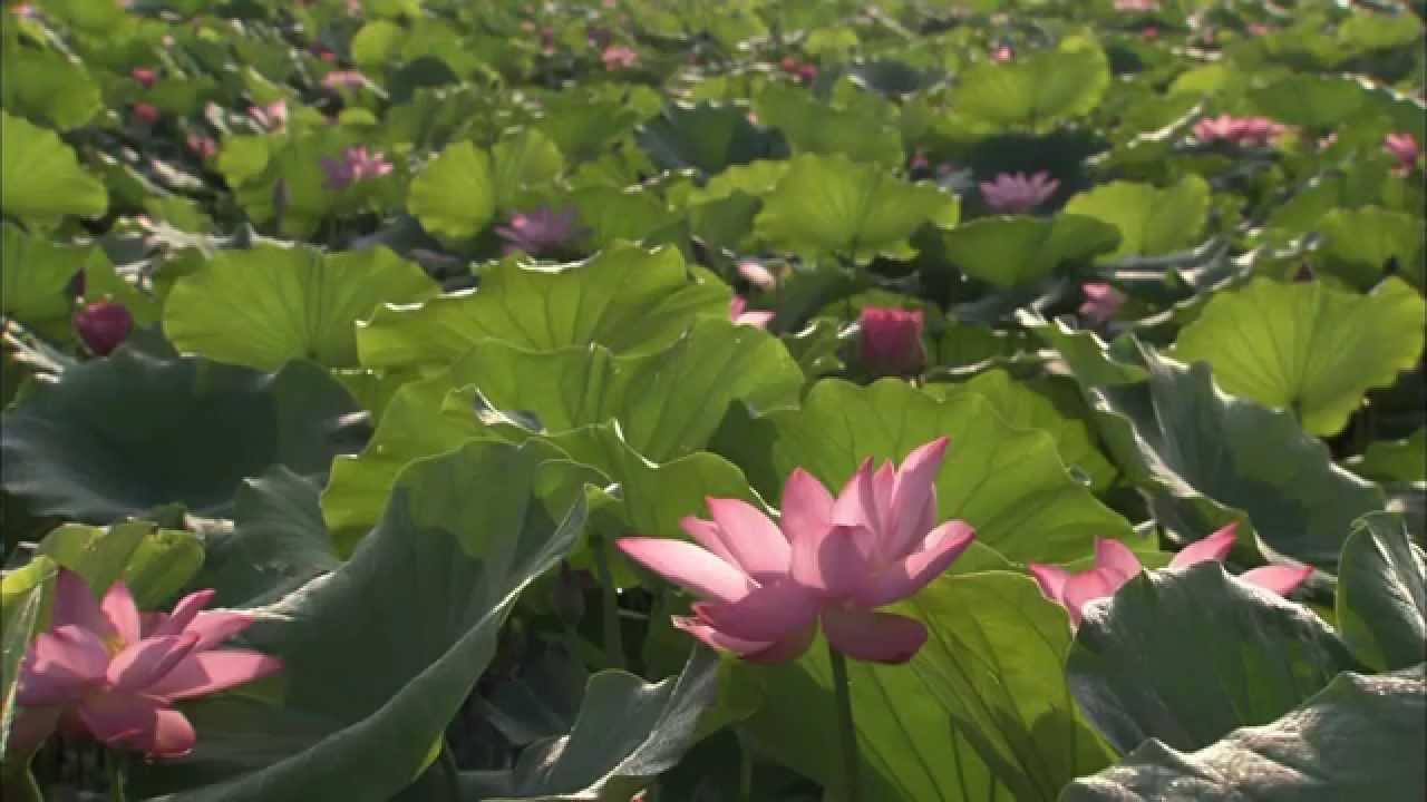 The third lotus prince youtube the third lotus prince izmirmasajfo