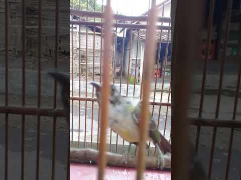 Kolibri Kelapa/Wiceh Ngobra
