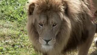 World Lion Day 2016