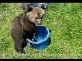 GRIZZLY BEAR CUB IN A BUCKET -  © Denmortube