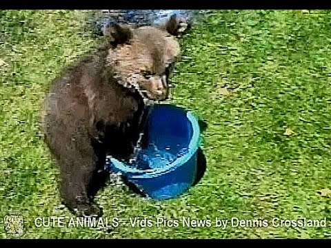 GRIZZLY BEAR CUB IN A BUCKET -  © Denmortube