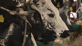 Krowy, owce, króliki i nie tylko... Wystawa w Szepietowie