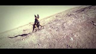 The Belgian Shepherd Malinois - Puppy Demo 001 Hd - 2014 California, Usa - Not German Shepherd Dog