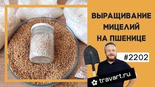 Выращивание мицелий грибов на пшенице. Выращивание грибов Грибоводство  малый бизнес идея ТРАВАРТ