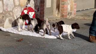 German Shorthaired Pointer Puppies For Sale | shawn hostetter