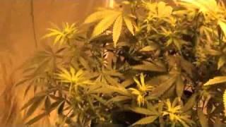 Cannabis Cup DWC plant