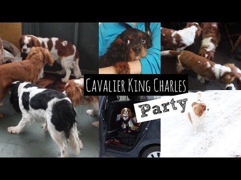 Cavalier King Charles Party | Playdate with Dogs | Herky the Cavalier