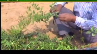 Learn about pomegranate cultivation