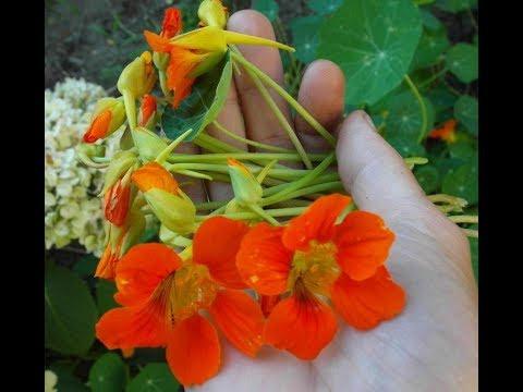 Растения для ПИЩЕВАРЕНИЯ и ЛЕГКИХ на моем участке (иссоп,фенхель,платикодон) - Ржачные видео приколы