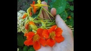 Растения для ПИЩЕВАРЕНИЯ и ЛЕГКИХ на моем участке (иссоп,фенхель,платикодон)