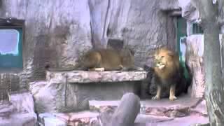 как лев и львица поссорились (прикол).