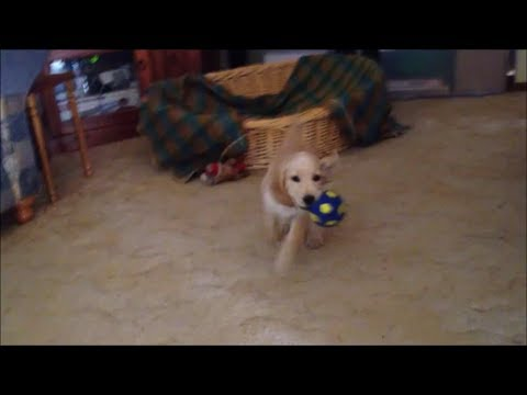 spanador-puppy-plays-with-squeaky-ball