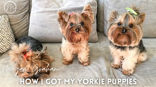 Yorkie Storytime | How I got my Yorkie Puppies