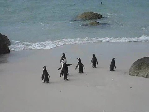 Penguins in Simon's Town, South Africa