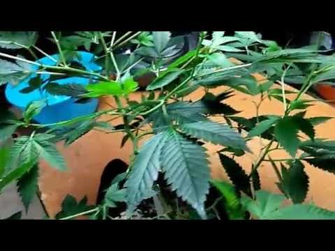 How To Grow Short Bushy Marijuana  Plants Without PGR'S- Supercropping
