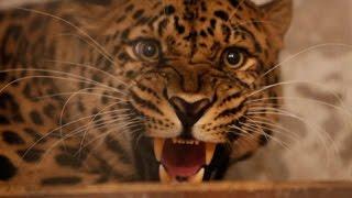 Амурский (Дальневосточный) леопард ХАН Калининградский зоопарк