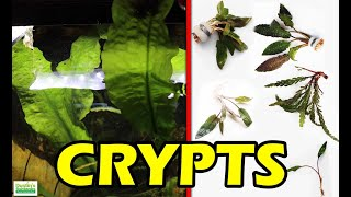 How to grow Crypts, Cryptocoryne: Species Sunday about Crypts in a Planted Tank
