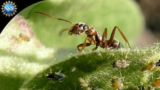 Leaf-cutter Ants - Science Nation