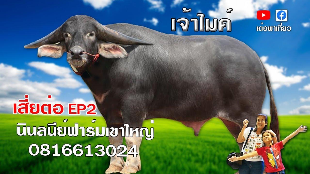 swamp buffalo thailand ควายไทย เจ้าไมค์ควายงาม เสี่ยต่อ  นินลนีย์ฟาร์มเขาใหญ่ EP2 เต๋อพาเที่ยว - YouTube