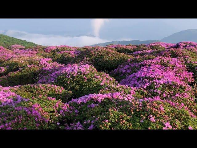 ミヤマキリシマ 朝日に輝く くじゅう連山