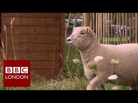 Sheep grazing in Green Park – BBC London News