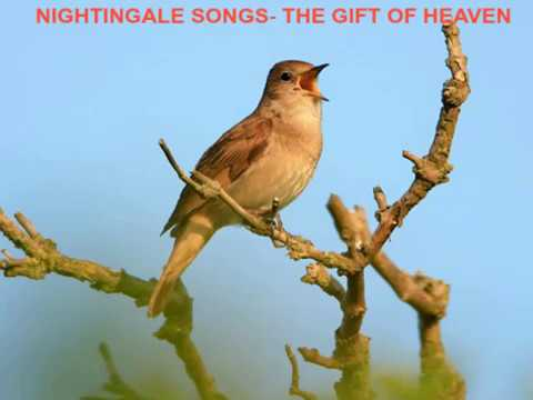 Best nightingale songs - The Gift of Heaven