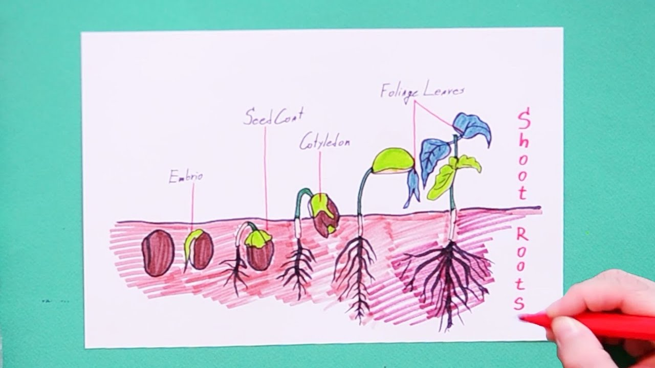 How to draw Germination of seeds - YouTube