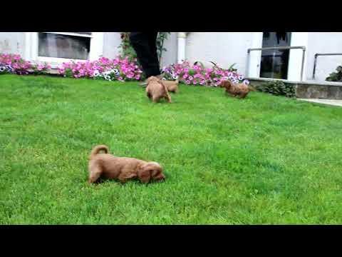 Cavapoo Puppies For Sale Leon Allgyer