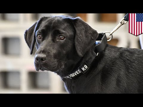 CIA dog training: Puppy dropped from CIA bomb-sniffing school gets adopted by trainer - TomoNews