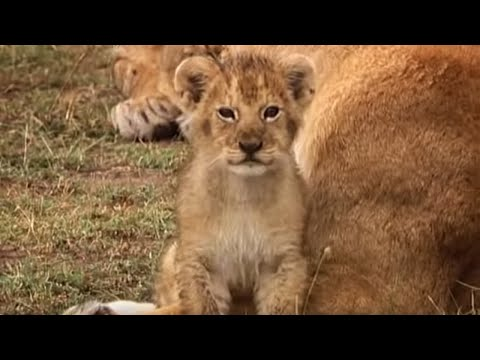 At home with the Lion cub | Little Big Cat | BBC