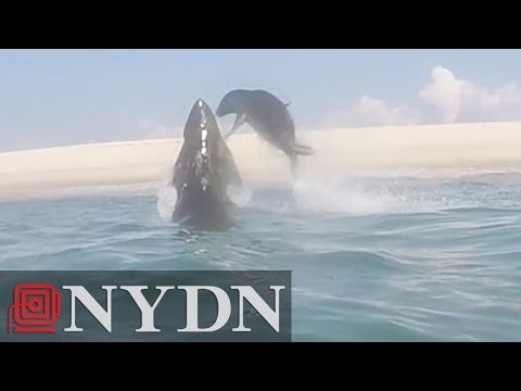 Shark vs. Seal in Cape Cod