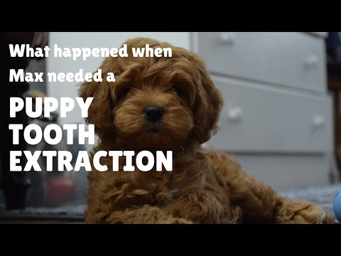 Puppy Teeth Didn't Fall Out - Here Is What Happened To Our Labradoodle