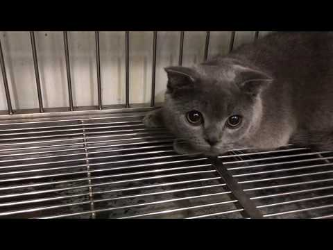 Meow cute cat | Chartreux Cat Breed