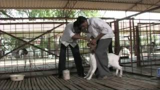 Nimbkar Boer Goat Farm 7 : Health & Diseases