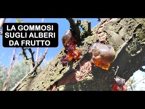 GOMMOSI SUGLI ALBERI DA FRUTTO