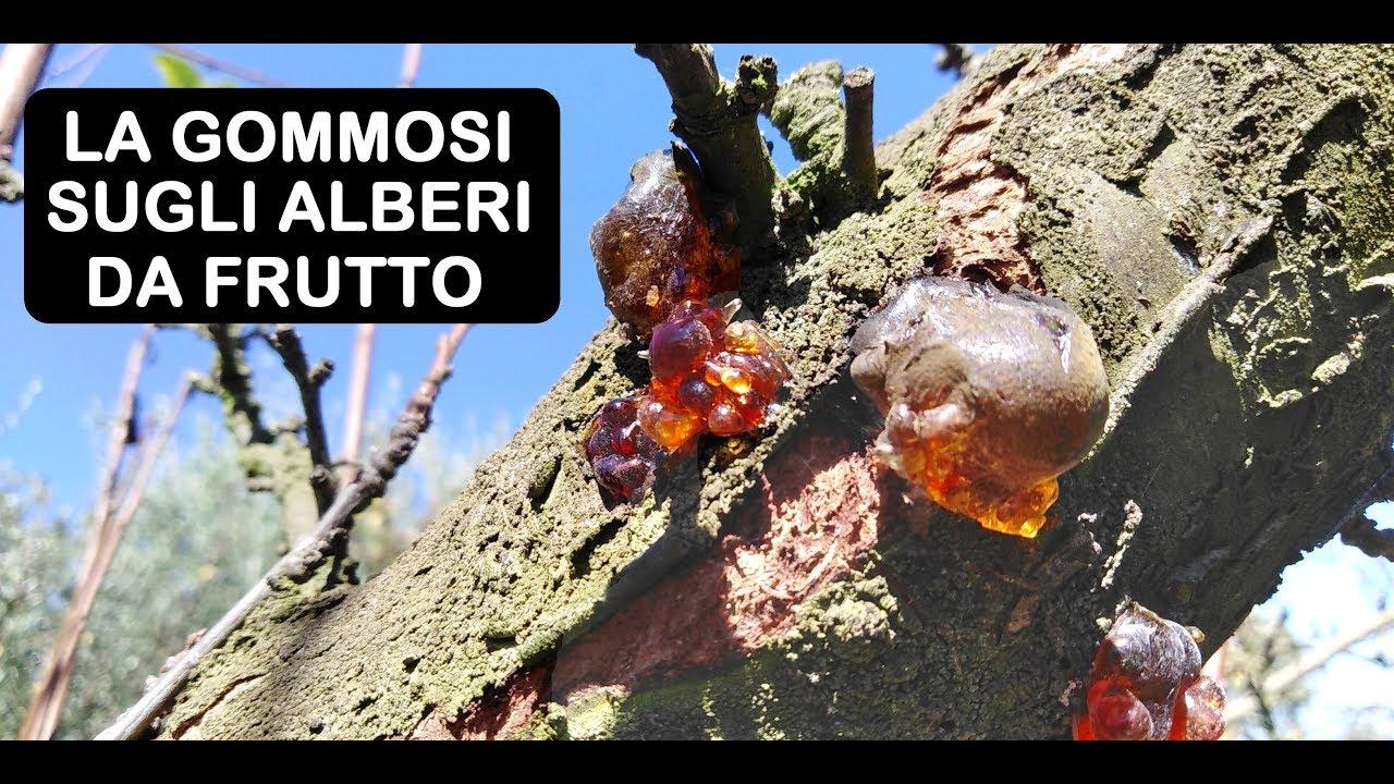 Gommosi sugli alberi da frutto youtube for Monilia del pesco